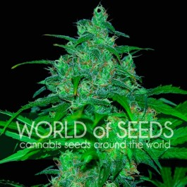 Wild thailand: 12 seeds