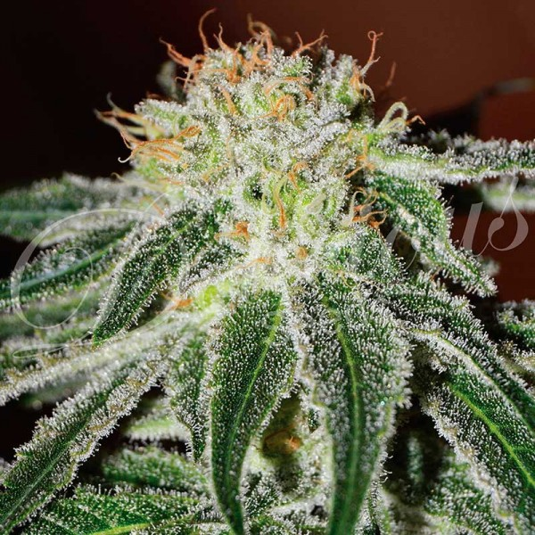 BLACK RUSSIAN - DELICIOUS SEEDS - FEMINIZED SEEDS