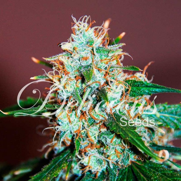 CRITICAL NEVILLE HAZE 2.0 - DELICIOUS SEEDS - FEMINIZED SEEDS