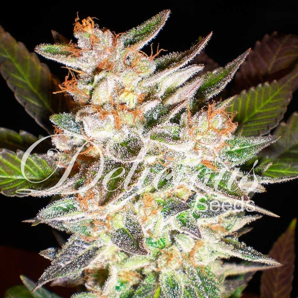 DELICIOUS CANDY AUTO - DELICIOUS SEEDS - AUTOFLOWERING SEEDS