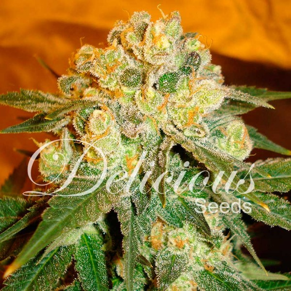 MARMALATE - DELICIOUS SEEDS - FEMINIZED SEEDS