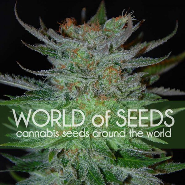 New York 47 - WORLDOFSEEDS - LEGEND COLLECTION