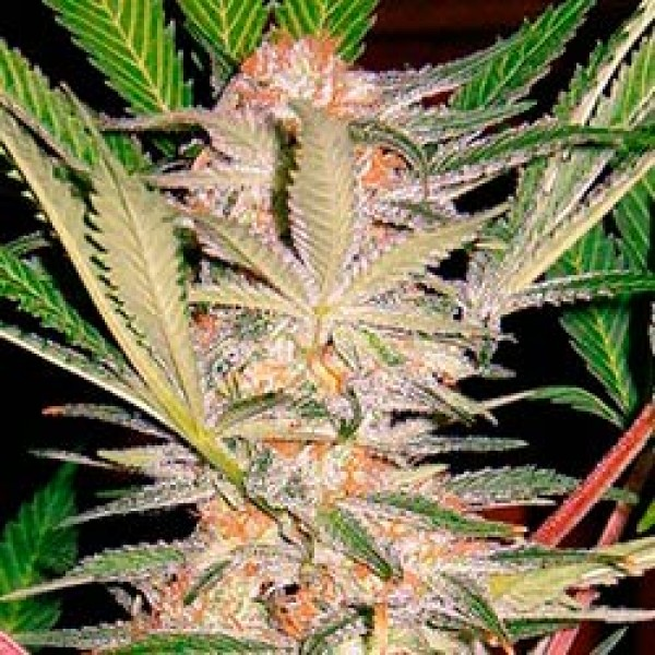 S.A.D. Sweet Afghan Delicious S1 - SWEET SEEDS