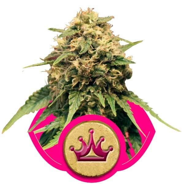 SPECIAL QUEEN #1 - ROYAL-QUEEN SEEDS