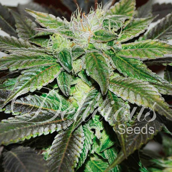 Sugar Candy - DELICIOUS SEEDS - FEMINIZED SEEDS
