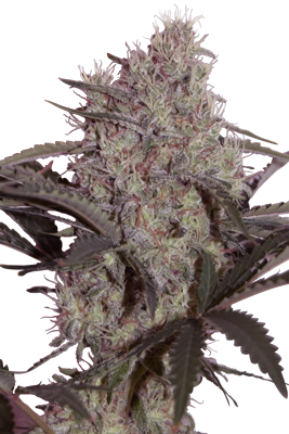 JACK WIDOW - 5 UNDS. (SEED MAKERS) - SEED MAKERS
