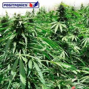 AFGHAN EXPRESS - POSITRONICS SEEDS