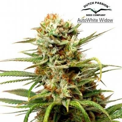 AUTO WHITE WIDOW