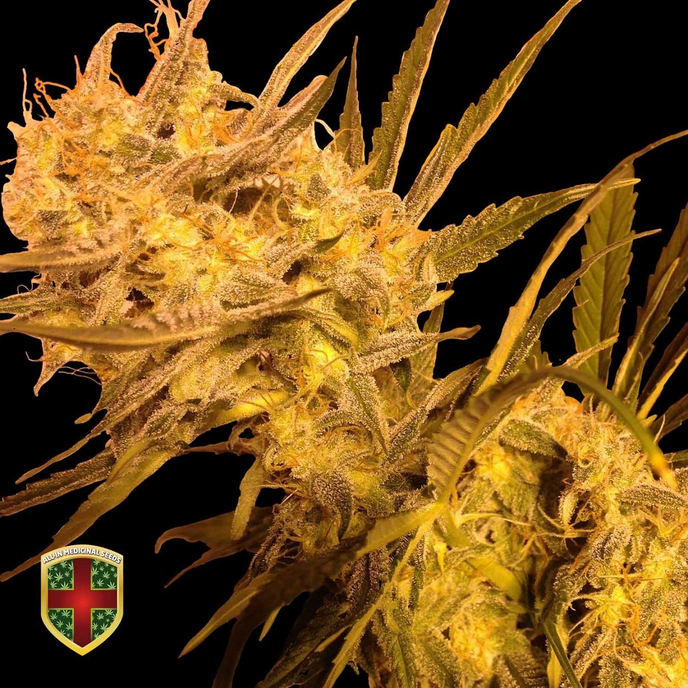 BENEDICTA - 10 UNDS. FEM - ALL IN MEDICINAL - ALL-IN MEDICINAL SEEDS