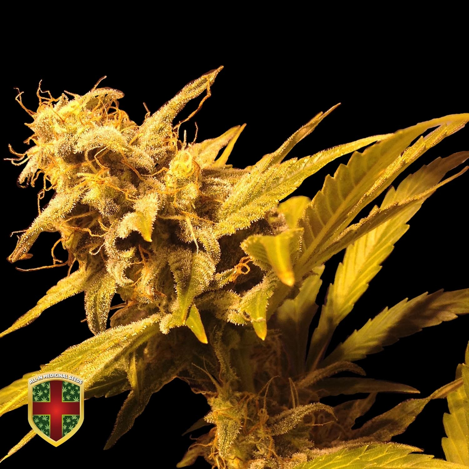 BIG MARLEY - 3 UND FEM - ALL IN MEDICINAL - ALL-IN MEDICINAL SEEDS