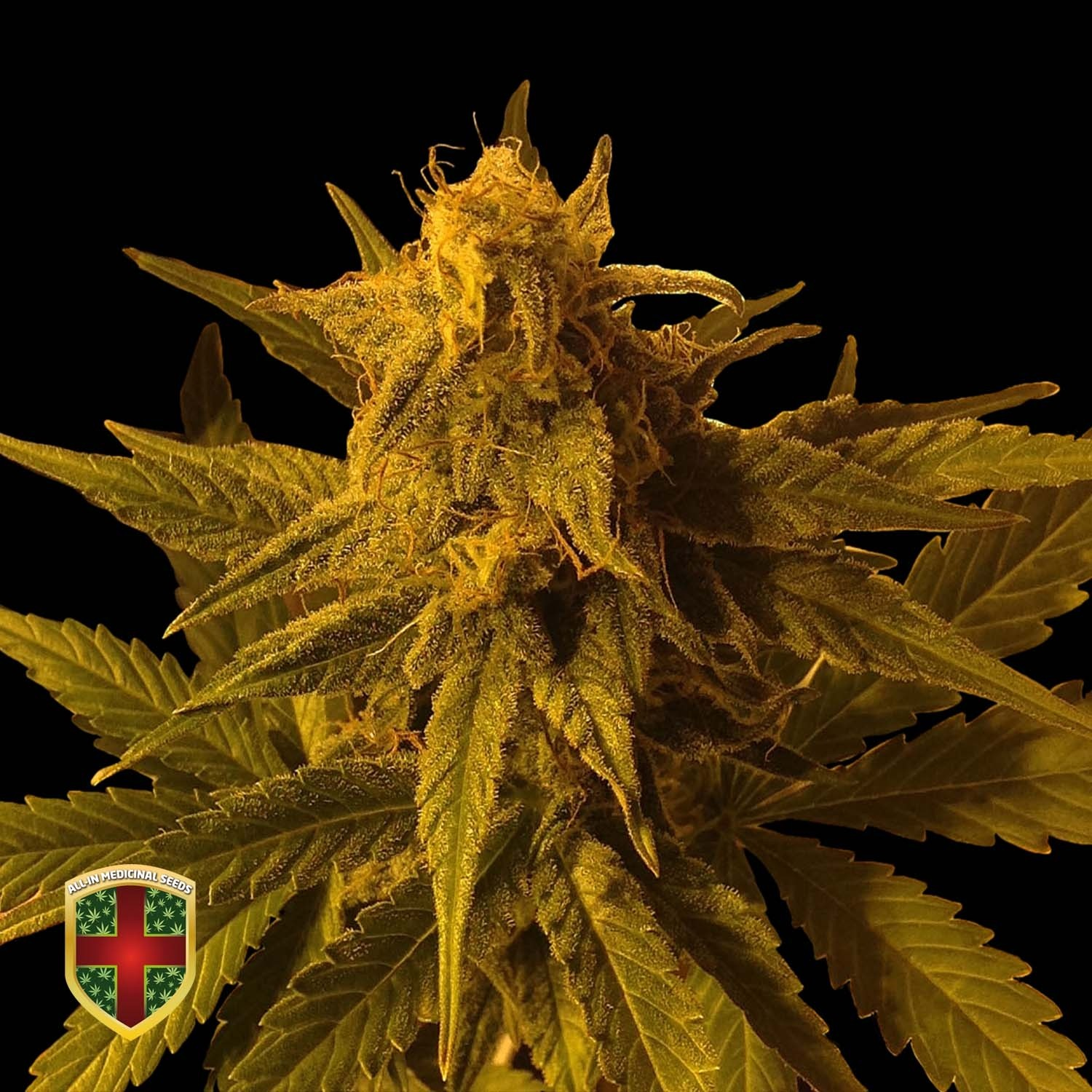 BIG MARLEY AUTO - 3 UND. FEM - ALL IN MEDICINAL - ALL-IN MEDICINAL SEEDS