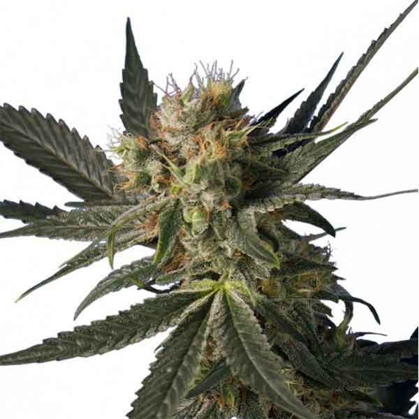 BLUE MONSTER 5 UND. FEM (HERO SEEDS)
