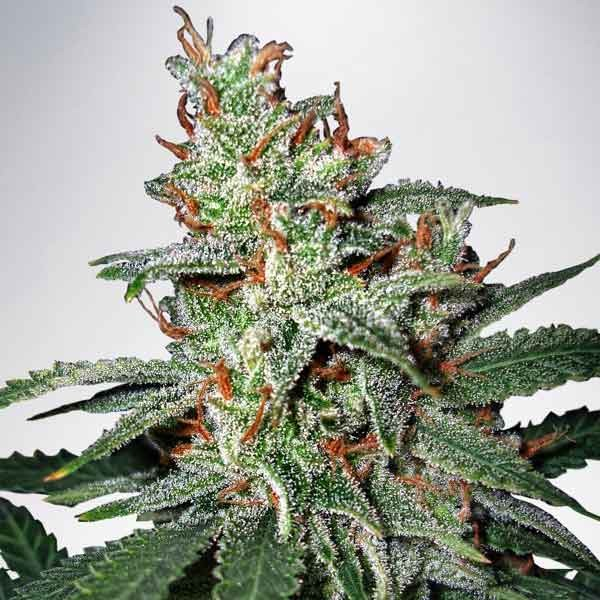 Carnival - MINISTRY OF CANNABIS