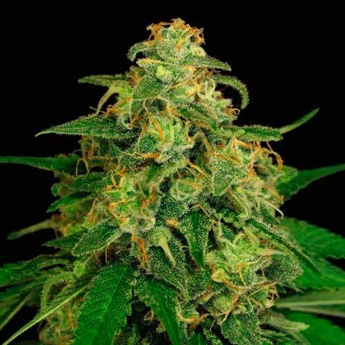 MANGO CREAM - Exotic Seed