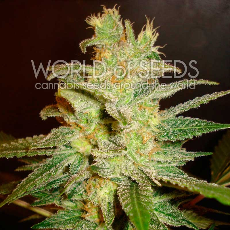 Northern Light x Big Bud - MEDICAL COLLECTION - WORLDOFSEEDS