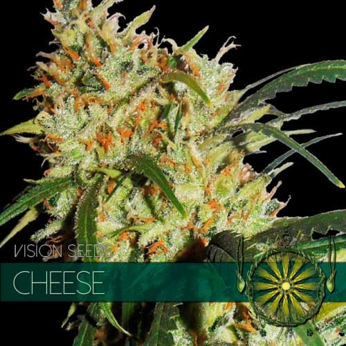 GOUDA'S GRASS (CHEESE) - VISION SEEDS