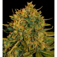 Purchase NORTHERN LIGHTS X BIG BUD RYDER