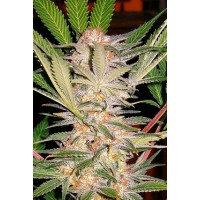 Purchase S.A.D. Sweet Afghan Delicious S1