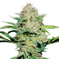 Purchase SENSI SKUNK AUTOMATIC (SENSI SEEDS)
