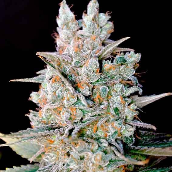 Goxuak auto genehtik world of seeds for Afghan kush exterieur