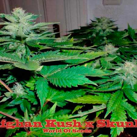 Afghan Kush x Skunk