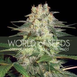 Afghan kush ryder: 12 seeds