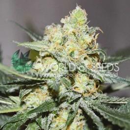 Afghan kush x skunk 7 seeds