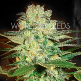 Afghan kush x white widow: 12 seeds