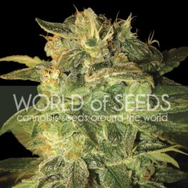 Sugar mango ryder: 12 seeds