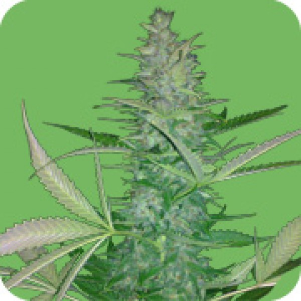 BIG LOW - FEM. AUTO - 5 UND. (SEEDS OF LIFE)  - SEEDS OF LIFE