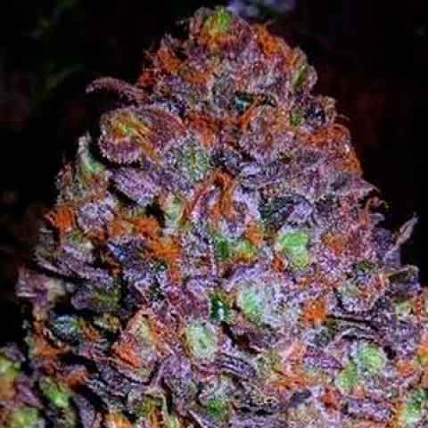 Purple haze weed plant