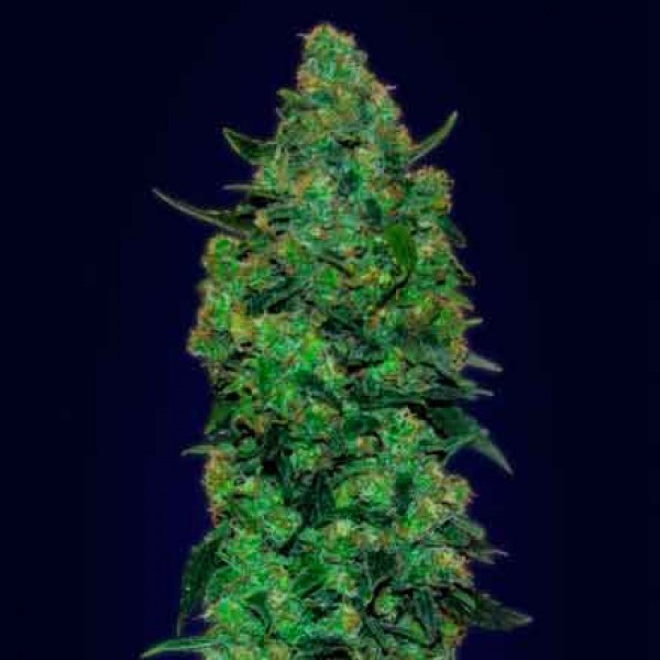Auto Skunk Mass   - Advanced Seeds