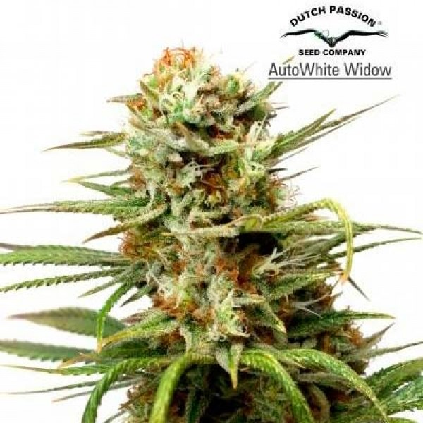 auto white widow dutch passion world of seeds