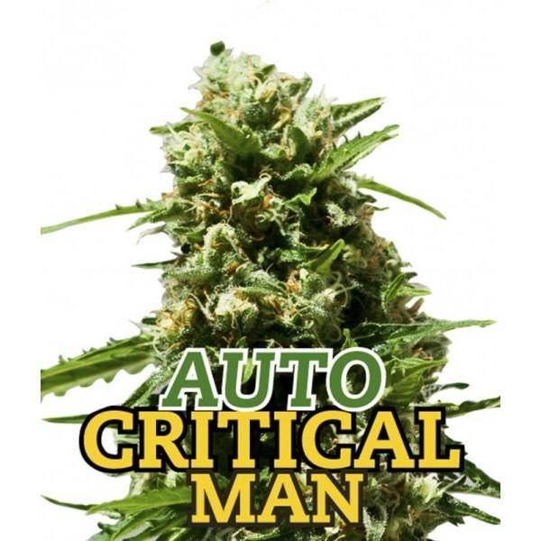 AUTO CRITICAL MAN 5 Seeds (FAMILY GANJAH) - Outlet