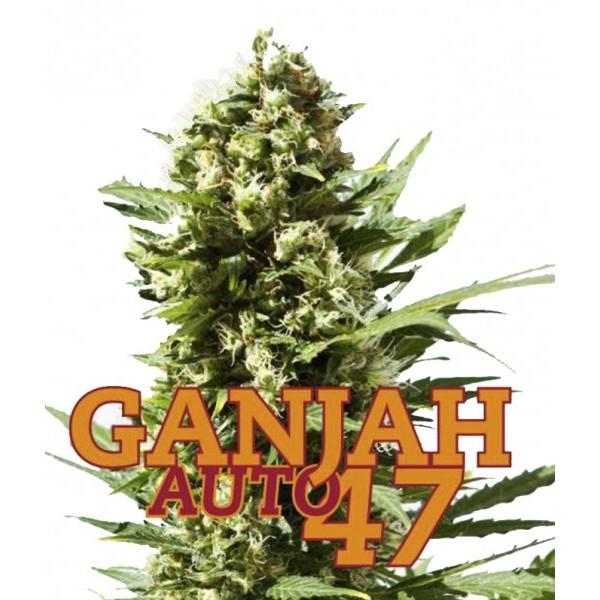 GANJAH AUTO47 10 Seeds Auto (FAMILY GANJAH) - Outlet