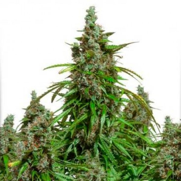 Auto Mazar - 7 seeds (Dutch Passion) - Root Catalog - All Products