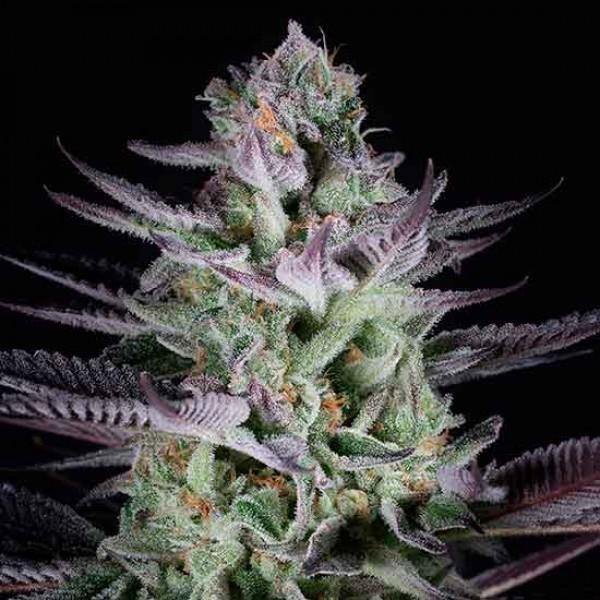 Blueberry Cookies - DINAFEM SEEDS