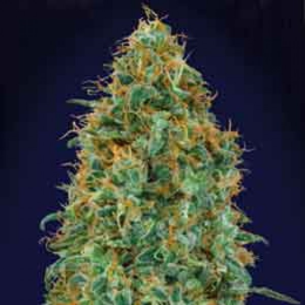 Blueberry - 5 seeds -  -