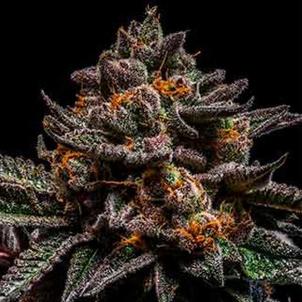BRAIN CAKE - RIPPER SEEDS