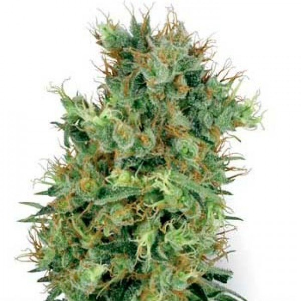 CALI ORANGE BUD REGULAR - 10 SEEDS (WHITE LABEL) - SENSI SEEDS