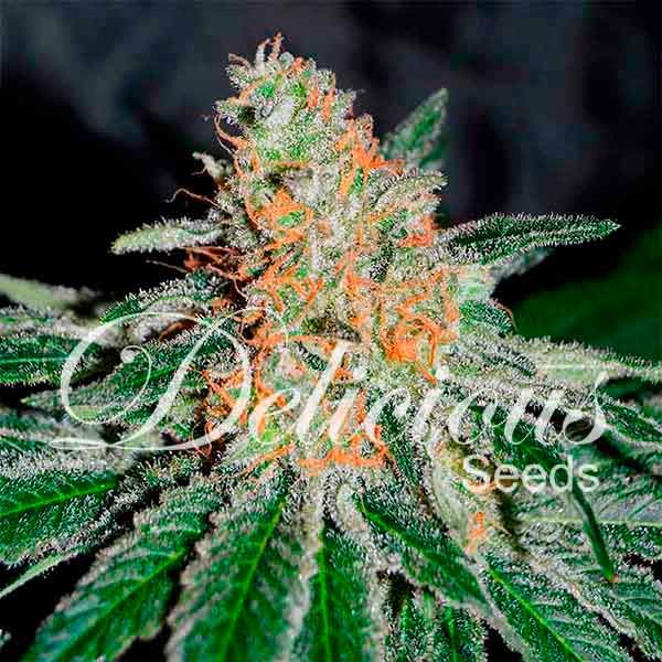 CBD JAM - DELICIOUS SEEDS - CBD FAMILY