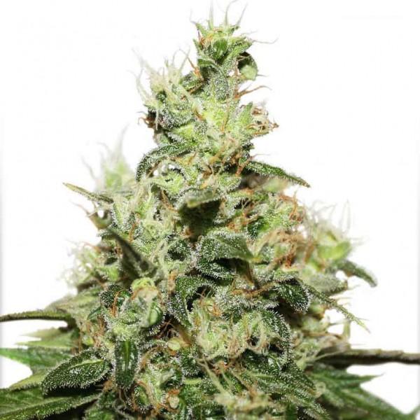 CBD Kush Fem - 3 seeds (Dutch Passion) - Root Catalog - All Products