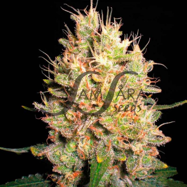 CRAZY MISS HYDE  - SAMSARA SEEDS - FEMINIZED