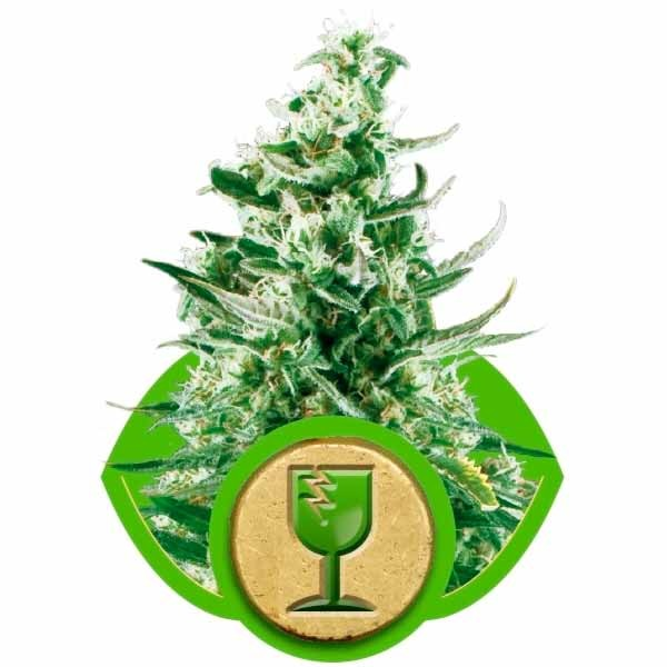ROYAL CRITICAL AUTOMATIC - ROYAL-QUEEN SEEDS