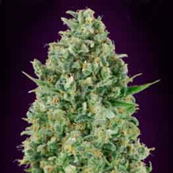 Critical Poison - 5 seeds -  -