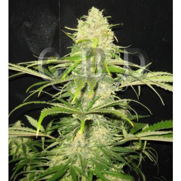 Critical 6 seeds - CBD SEEDS