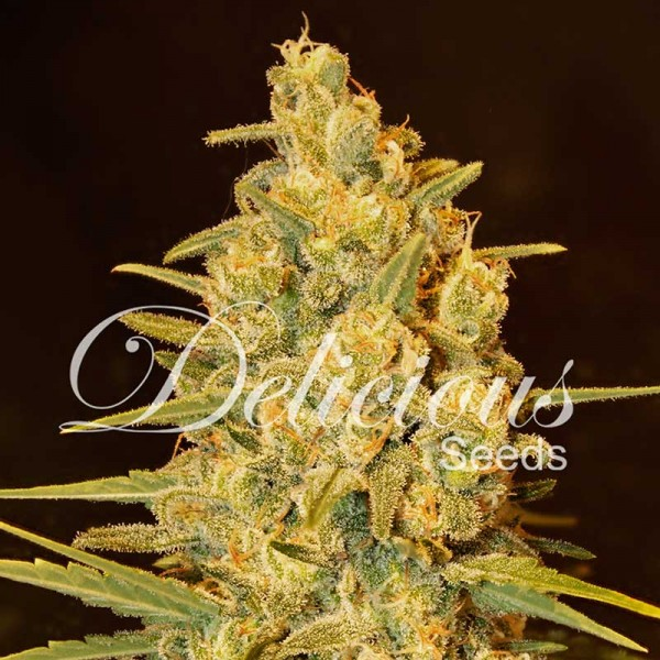 Critical Sensi Star - DELICIOUS SEEDS - FEMINIZED SEEDS