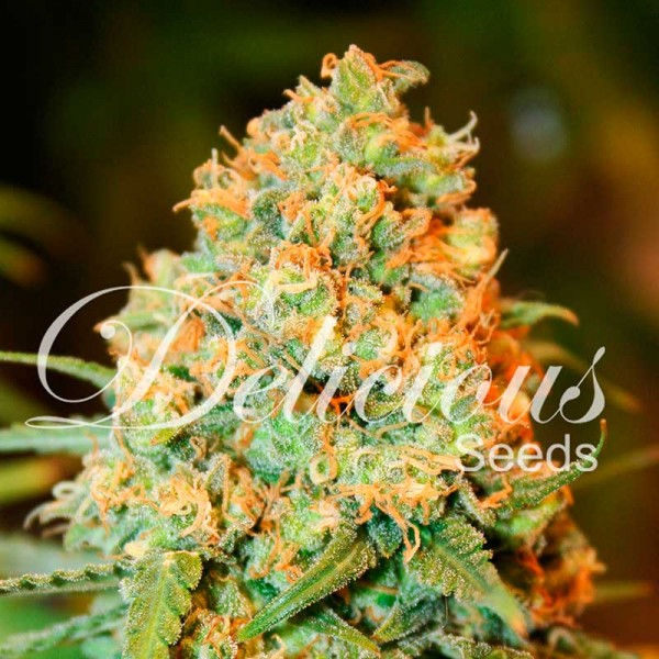 CRITICAL SUPER SILVER HAZE - DELICIOUS SEEDS - FEMINIZED SEEDS