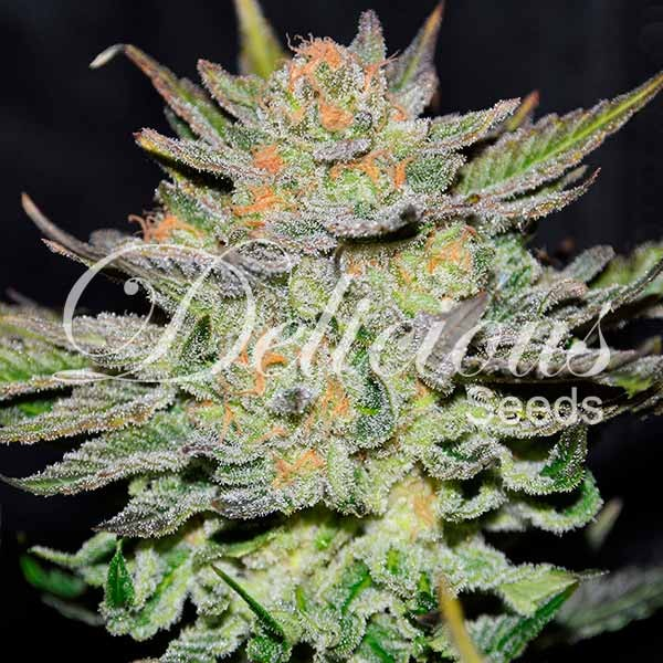 Auto Blue Ace Cbd - DELICIOUS SEEDS - CBD FAMILY