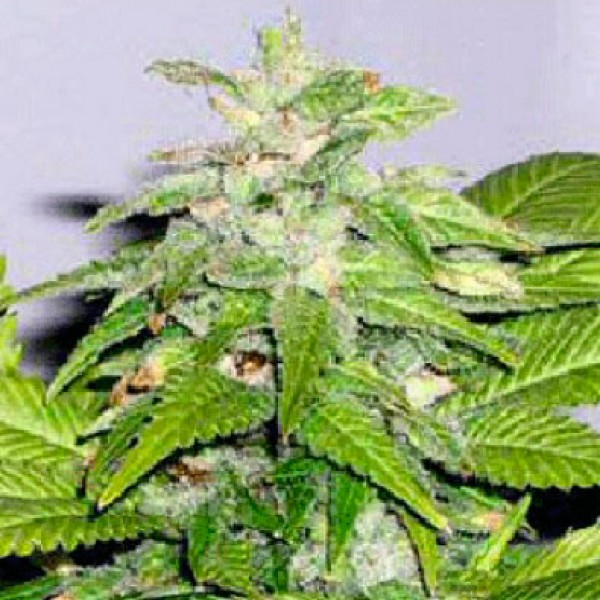 Early Bird Skunk  - 5 seeds - Sagarmatha